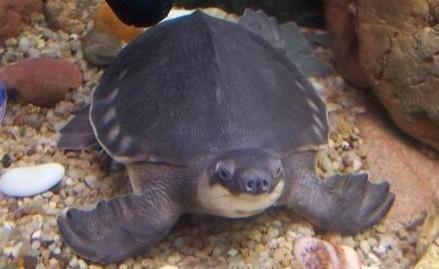 猪鼻龟白斑病的症状及防治方法